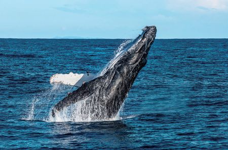 SWIMMING WITH HUMPBACK WHALES ON THE SUNSHINE COAST